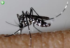 Signalez les moustiques tigres